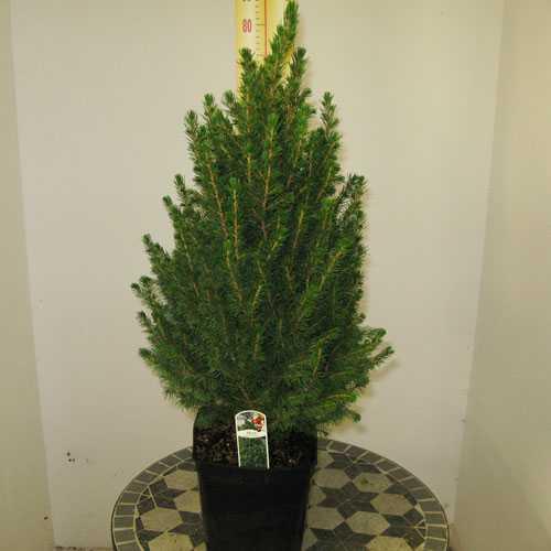 Buy Picea Glauca Conica 70 80cm Mini Christmas Tree
