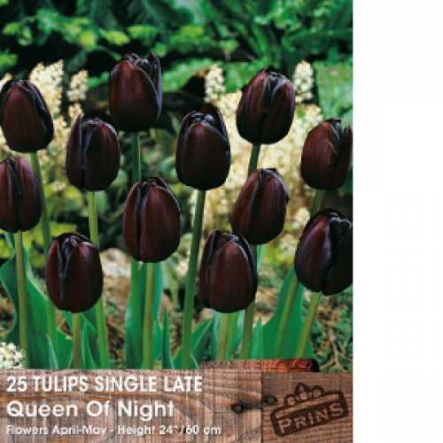 Tulip Bulbs Single Late Queen Of The Night 25 Per Pack