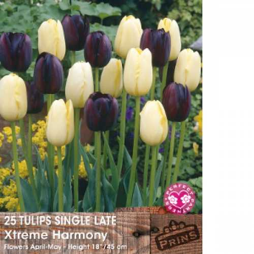 Tulip Bulbs Single Late Xtreme Harmony 25 Per Pack