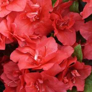 Azalea Japonica Florida Red