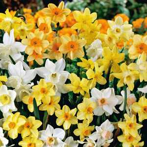 Narcissus Spring Fragrance Bulbs Mixed 25 Per Pack