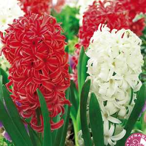 Hyacinth Bedding Bulbs Spring Air Mixed Red and White 8 Per Pack