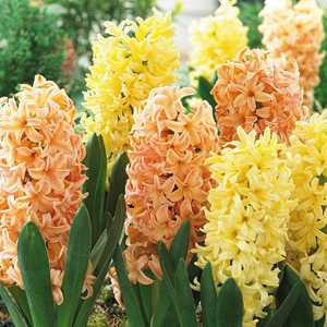 Hyacinth Bedding Bulbs Spring Glow Mixed Yellow and Orange 8 Per Pack