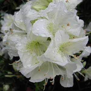 Azalea Japonica Schneewittchen