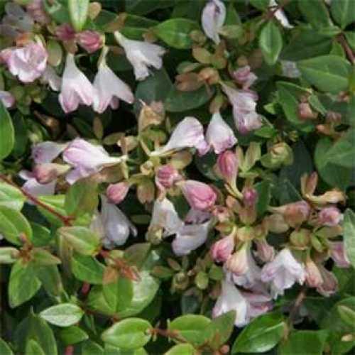 Abelia 'Petite Garden'