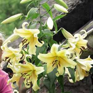 Lilium OT Hybrid (lily) Tower Lilies Honeymoon Bulbs 3 Per Pack