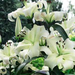 Lilium OT Hybrid (Lily) Tower Lilies Pretty Women Bulbs 3 Per Pack