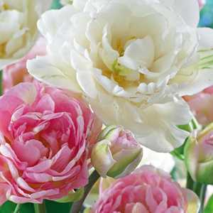 Tulip Bulbs Double Late Double Romance Pink and White 25 Bulbs Per Pack