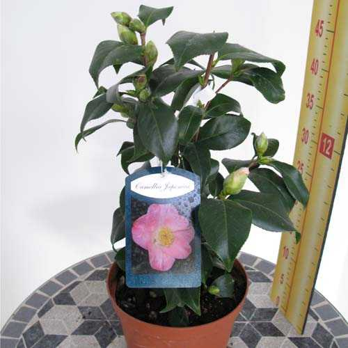 Camellia Japonica 'Pink'