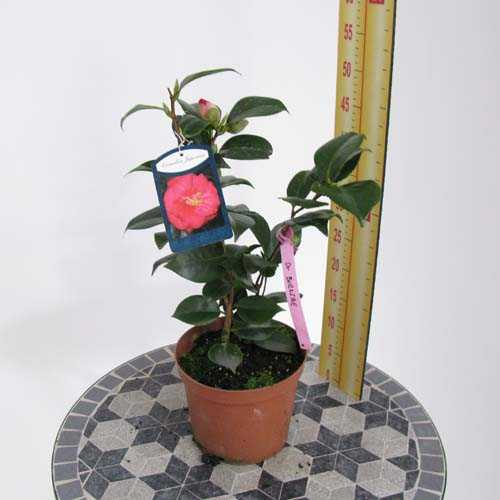 Camellia Japonica 'Red'