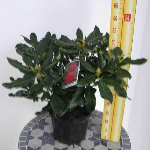 Rhododendron Hybrid Nova Zembla 5 Litre Pot