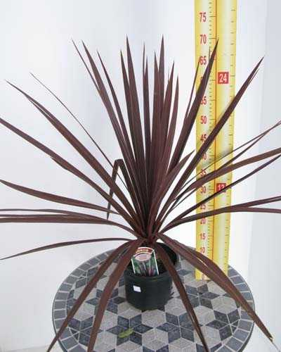 Cordyline Australis Red Star (Cabbage Tree) 3Ltr