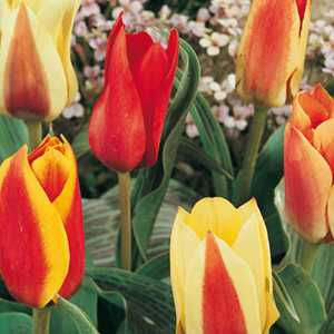 Tulip Bulbs Greigii/Kaufmaniana Mixed Colours 25 Per Pack