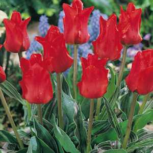 Tulip Bulbs Greigii Red Riding Hood 25 Per Pack