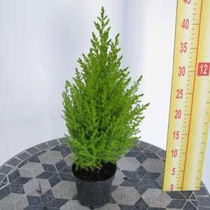 Cheap Goldcrest Conifers Buy Golcrest Wilma Cheap