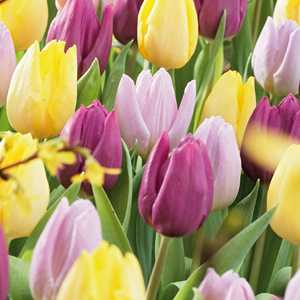 Tulip Bulbs Single Early Prince Mixed 25 Per Pack