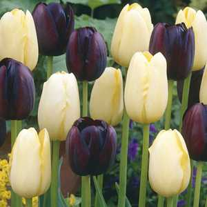 Tulip Bulbs Single Late Xtreme Harmony 25 Per Pack