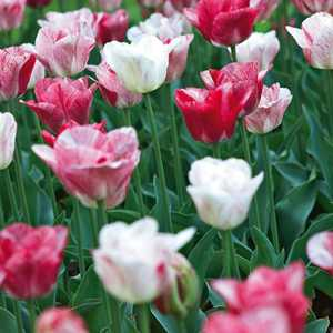 Tulip Bulbs Triumph Hemisphere 25 Bulbs Per Pack