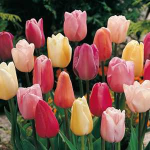 Tulip Bulbs Triumph Pastel Mixed 25 Per Pack