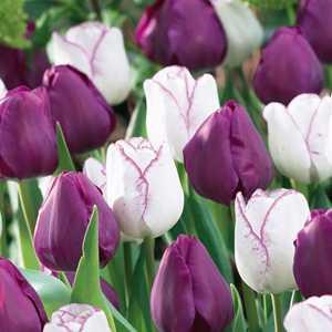 Tulip Bulbs Triumph Simply Irresistible 25 Per Pack