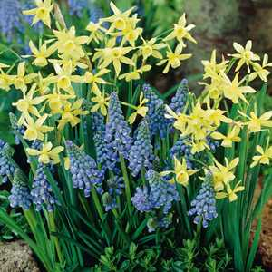 20 Narcissus and 20 Muscari Bulbs Dipped in Gold 40 Per Pack
