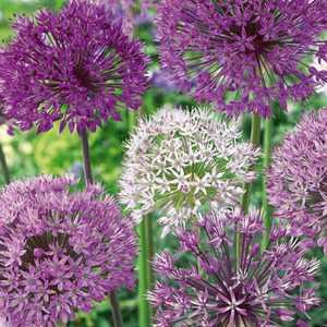 Allium Bulbs Simply Classy 12 Per Pack