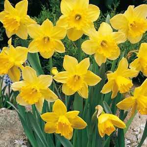 Daffodil Bulbs Larged Cupped Carlton 25Kg Sack