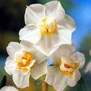 Daffodil Bulbs Double Cheerfulness 25Kg Sack