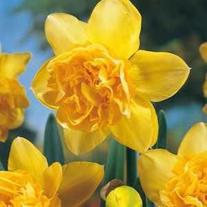 Daffodil Bulbs Double Dick Wilden 25Kg Sack
