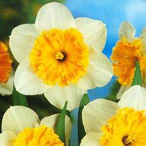 Daffodil Bulbs Large Cupped 'Early Bride' 25Kg Sack