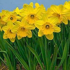 Daffodil Bulbs Large Cupped 'Gigantic Star' 25Kg