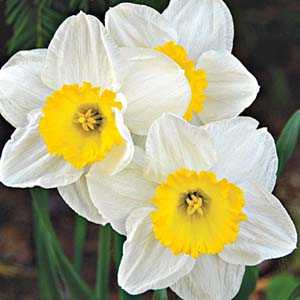 Daffodil Bulbs Large Cupped 'Ice Follies' 25kg Sack