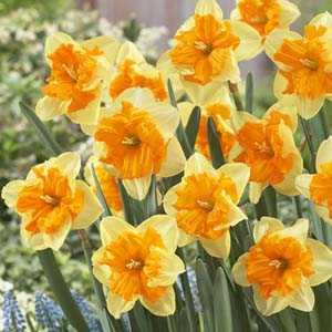 Daffodil Bulbs Butterfly Orangery 25Kg Sack