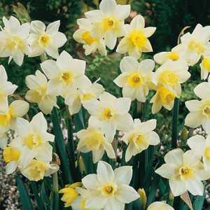 Narcissus Jonquilla Bulbs Pueblo 25Kg Sack