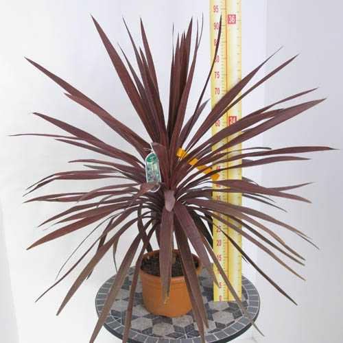 Cordyline Red Star 5 Litre Pot