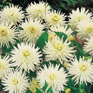 Dahlia Cactus/Border Bulbs Playa Blanca 1 Per Pack