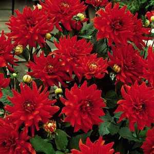 Dahlia Cactus/Border Bulbs Red Pigmy 1 Per Pack