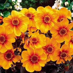 Dahlia Border Bulbs Sunshine 1 Per Pack