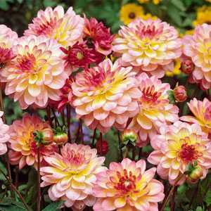Dahlia Border Bulbs Zingaro 1 Per Pack