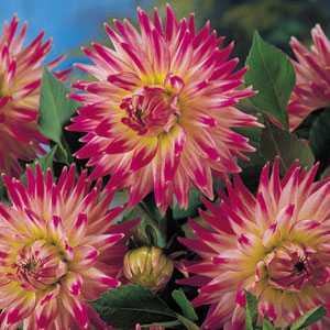 Dahlia Cactus Bulbs Cha Cha 1 Per Pack