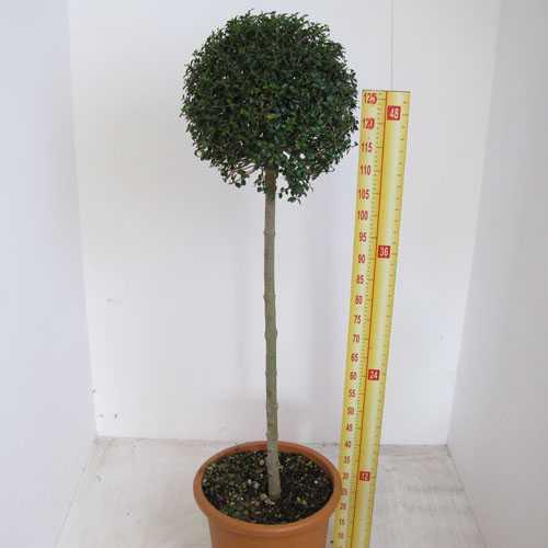Ligustrum delavayanum Topiary (Privet) 1/2 Standard 30-40cm Head 18.5ltr