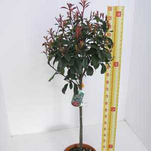 Photinia x Fraseri 'Red Robin' 1/4 Standard 15ltr Pot