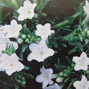 Lithodora (Lithospermum) Diffusa Alba