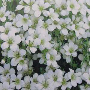 Saxifraga Mossy White 1ltr