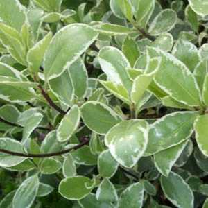 Pittosporum tenuifolium 'Collaig Silver' 3.5 Ltr