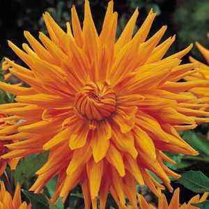 Dahlia Cactus Bulbs Gold Crown 1 Per Pack