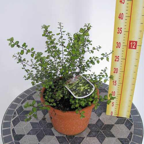 Pittosporum tenuifolium 'Tandra Gold' 3.5 Ltr