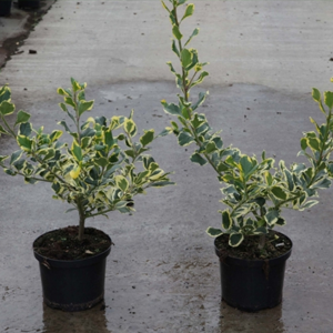 Ilex alteclerensis 'Golden King' Holly 5Ltr