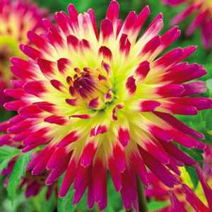 Dahlia Cactus Bulbs Tahiti Sunrise 1 Per Pack