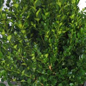 Buxus Sempervirens Box Hedging 22-25cm 1ltr